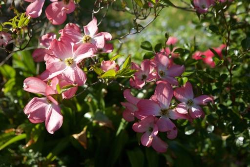 Red flowering Dogwood